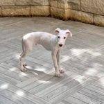 adiestramiento_cachorro_galgo