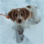 adiestramiento_cachorro_spaniel_breton