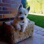 adiestramiento_cachorro_westy