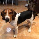 modificacion_conducta_beagle