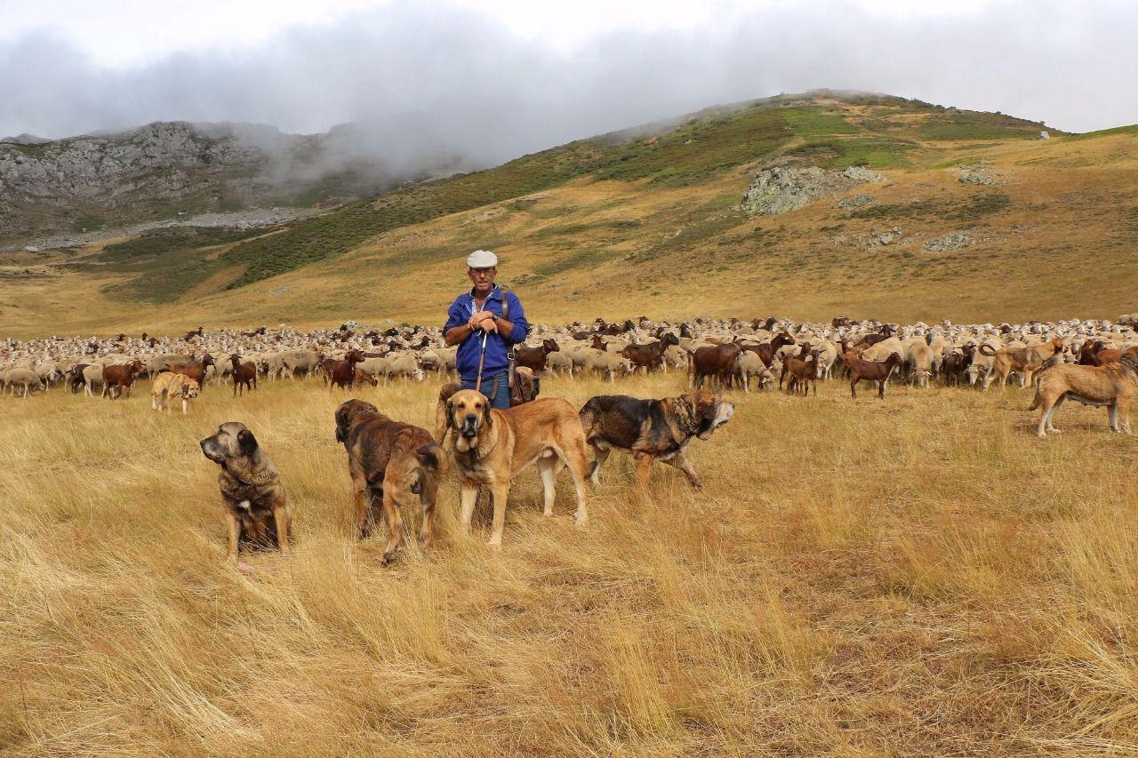 Adiestramiento-canino-BEC_Razas-espanolas_Mastin-espanol-ganado-trashumancia