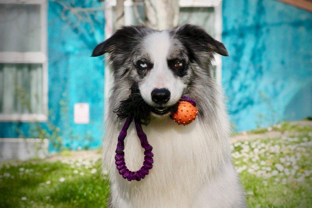 Adiestramiento canino BEC juguetes adecuados presa