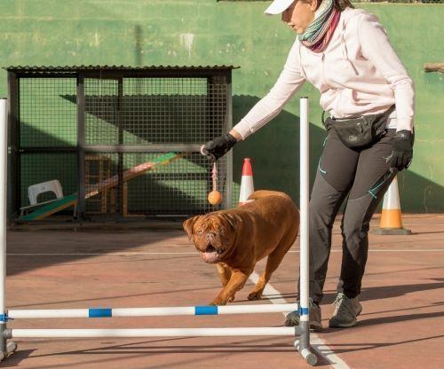 adiestramiento_canino_BEC_agility_dogo_burdeos (2)
