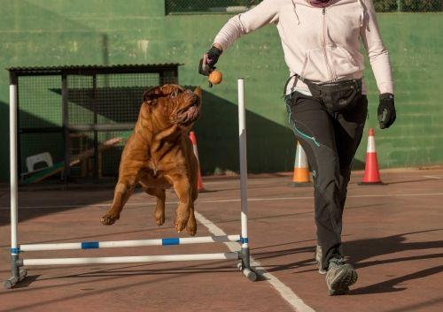 adiestramiento_canino_BEC_agility_dogo_burdeos