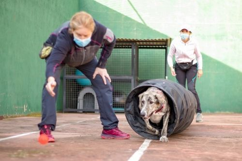 adiestramiento_canino_BEC_agility_galgo (4)