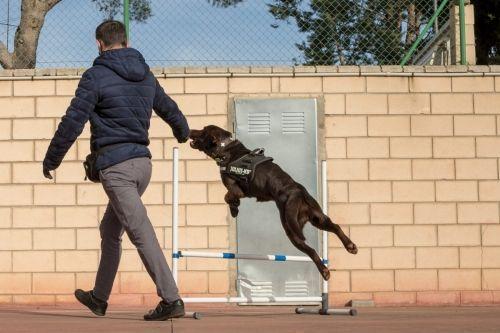 adiestramiento_canino_BEC_agility_labrador_retriever (2)