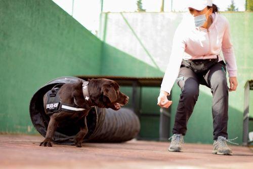 adiestramiento_canino_BEC_agility_labrador_retriever (3)