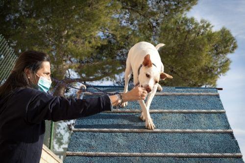 adiestramiento_canino_BEC_agility_podenco_andaluz